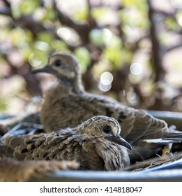 Close-Up of New Born Dove Chicks in Nest