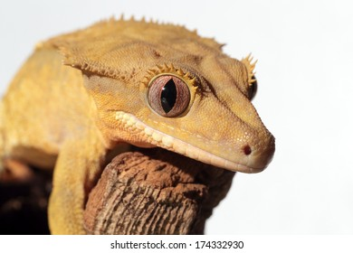 Closeup of a new Caledonian crested gecko (Rhacodactylus ciliatus) on a branch on white background