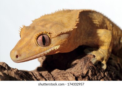 Closeup of a new Caledonian crested gecko (Rhacodactylus ciliatus) on white background