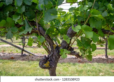 Close-up of new grape vine canes growing on older branches and rootstock at a winery in Canterbury, New Zealand
