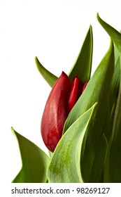 A closeup of a new red Tulip bud peeking out of the green leaves curled around it representing the birth or beginning  of a new Spring  flower.  Isolated with white background and copy space.