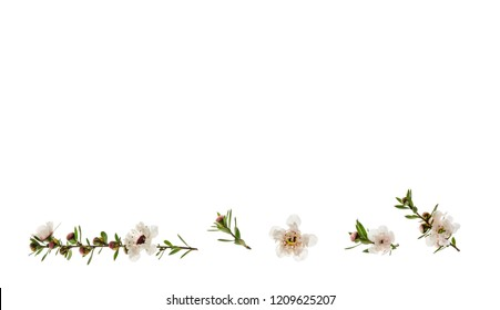 closeup of New Zealand teatree flowers on white background with copy space above
