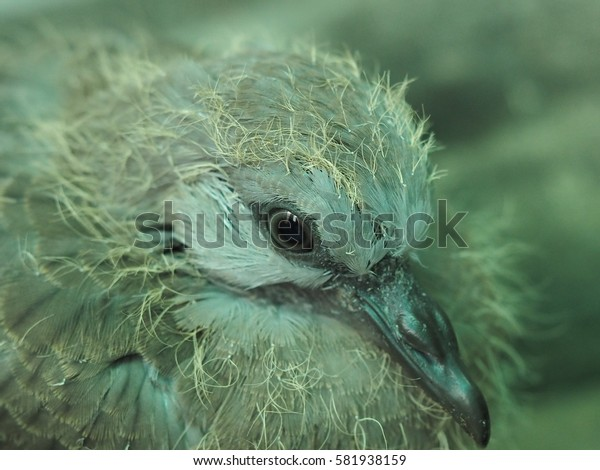 closeup of newborn baby dove, hatched in two weeks