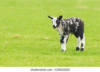 Closeup of a newborn black and white lamb  (Capra aegagrus hircus) in Springtime standing in a meadow.