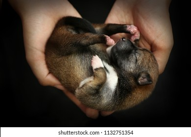 Close-up of a Newborn Shiba Inu puppy. Japanese Shiba Inu dog. Beautiful shiba inu puppy color brown and mom. 2 day old. Puppy on hand. Dog on hands forming a heart shape. Hand on black background.