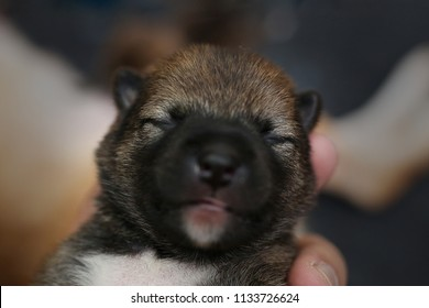 Close-up of a Newborn Shiba Inu puppy. Japanese Shiba Inu dog. Beautiful shiba inu puppy color brown and mom. 5 day old. Puppy on hand. Dog on hands.