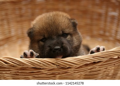 Close-up of a Newborn Shiba Inu puppy. Japanese Shiba Inu dog. Beautiful shiba inu puppy color brown. 16 day old. Puppy in basket. Dog and basket.