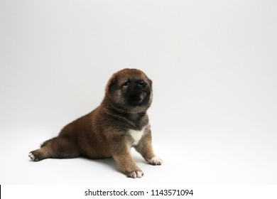 Close-up of a Newborn Shiba Inu puppy. Japanese Shiba Inu dog. Beautiful shiba inu puppy color brown. 18 day old. Puppy on white background.