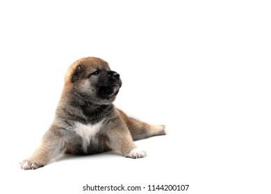 Close-up of a Newborn Shiba Inu puppy. Japanese Shiba Inu dog. Beautiful shiba inu puppy color brown. 19 day old. Puppy on white background. space for text.