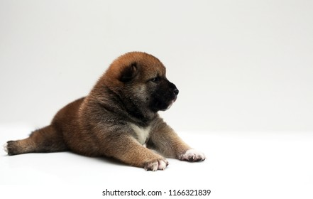 Close-up of a Newborn Shiba Inu puppy. Japanese Shiba Inu dog. Beautiful shiba inu puppy color brown. 20 day old. Puppy on white background. space for text.