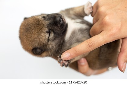 Close-up of a Newborn Shiba Inu puppy. Japanese Shiba Inu dog. Beautiful shiba inu puppy color brown and mom. 2 day old. Puppy on hand. Hand on white background. Touching to hand.