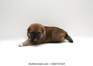 Close-up of a Newborn Shiba Inu puppy. Japanese dog. Beautiful shiba inu puppy color brown. 18 day old. Puppy on clean background.