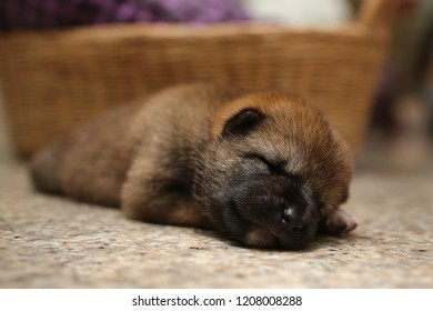 Close-up of a Newborn Shiba Inu puppy. Japanese Shiba Inu dog. Beautiful shiba inu puppy color brown and mom. 5 day old. Puppy on hand. Dog on basket.