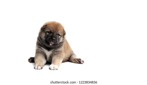Close-up of a Newborn Shiba Inu puppy. Japanese Shiba Inu dog. Beautiful Akita inu puppy color brown. 19 day old. Puppy on white background. space for text. Dog isolated on black background.