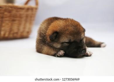Close-up of a Newborn Shiba Inu puppy. Japanese Shiba Inu dog. Dog Sleeping. Beautiful shiba inu puppy color brown and mom. 5 day old. Puppy on hand. Dog on basket.