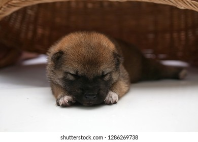 Close-up of a Newborn Shiba Inu puppy. Japanese Shiba Inu dog. Beautiful shiba inu puppy color brown and mom. 5 day old. Puppy on hand. Dog under basket. Selective focus.