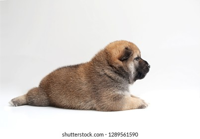 Close-up of a Newborn Shiba Inu puppy. Japanese Shiba Inu dog. Beautiful shiba inu puppy color brown. 19 day old. Puppy on white background.