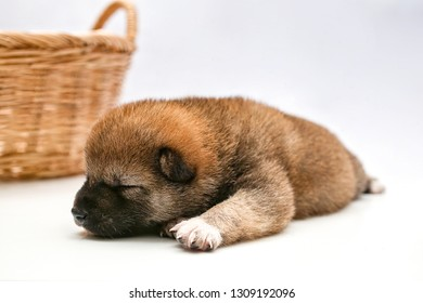 Close-up of a Newborn Shiba Inu puppy. Japanese Shiba Inu dog. Beautiful shiba inu puppy color brown. 16 day old. Puppy on white background. Dog and basket. Space for text.