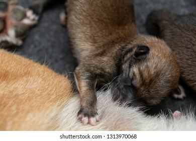 Close-up of a Newborn Shiba Inu puppy. Japanese Shiba Inu dog. Beautiful shiba inu puppy color brown and mom. 1 day old.