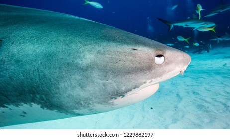Close-up of the nictitating membrane of a large tiger shark. Bimini Bahamas