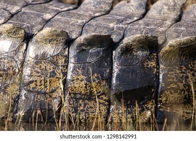 Closeup of Nile Crocodile, Chobe River, Botswana