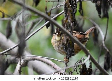 Close-up of a non-breeding immature swamp sparrow perched on a branch peeking around the foliage while it forages for food in the undergrowth. Photographed in New Hampshire, USA.
