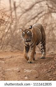 Closeup of Noor cub walking on the road, Ranthambore Tiger Reserve