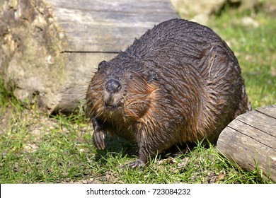 Closeup North American Beaver (Castor canadensis) on grass