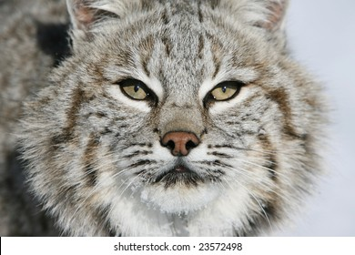 Closeup of North American Bobcat looking forward with a background of snow
