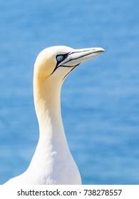 Close-up of a Northern gannet, Morus bassanus