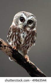 Closeup of a Northern Saw-Whet Owl.