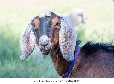 Close-up of Nubian Goat Head
