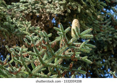 Close-up of Numidian fir (Abies numidica) or Algerian fir branch with large green female cone. Selective focus