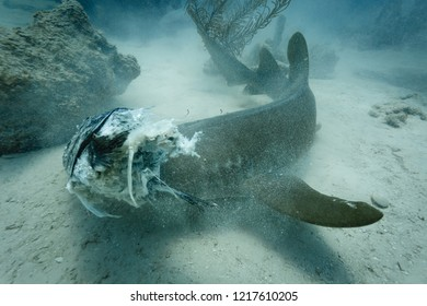 Closeup of nurse shark attack on gray  stingray in shoals of coral reef
