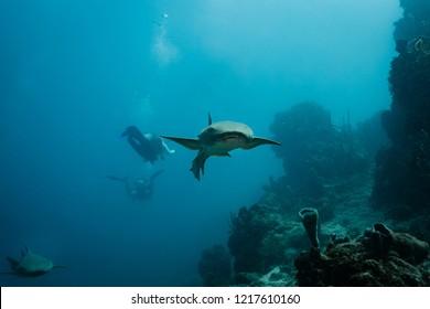 Closeup of nurse shark pursued by divers swimming toward photographer