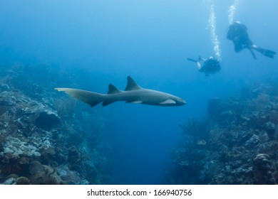 Closeup of nurse shark swimming above coral reef in Shark Alley Belize with divers nearby.