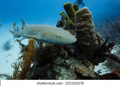 Closeup of nurse shark swimming around corner of tube coral