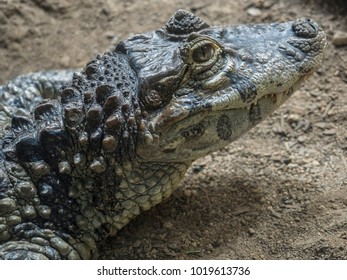 Close-up o Broad-nosed caiman