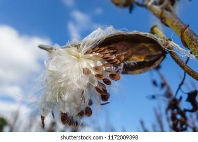 Close-up o f milkweed plant in autumn