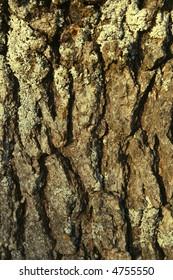 Closeup of Oak Bark with Colorful Lichen