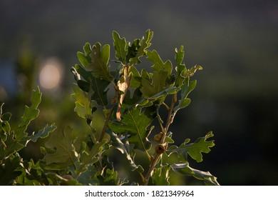 Close-up of oak leaves in backlight, unfocused background