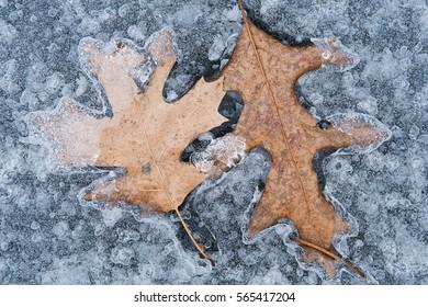 Close-up of oak leaves encased in lake ice
