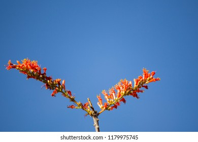 close-up of ocotillo flower isolated against clear blue sky in Arizona.