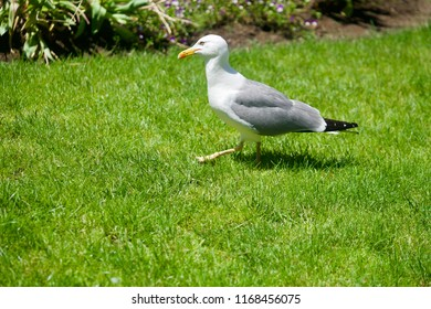 Closeup of. a seagull walking through green grasss