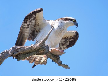 Closeup ofa Beautiful Osprey with the Last of his Fish Dinner Sitting on a Dead Tree Branch