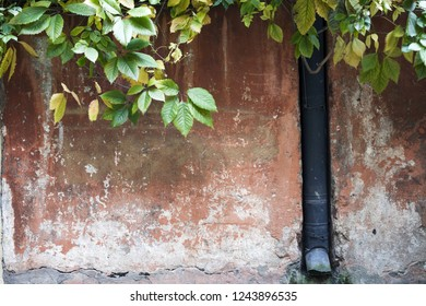 Closeup of old daubed wall, with virginia creeper autumn leaves and rainwater pipe.