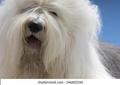 Closeup of Old English Sheepdog on blue background