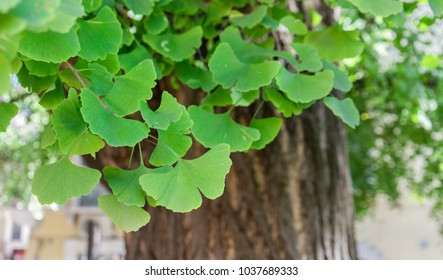 Close-up of an old ginkgo tree in Verona, Italy