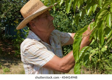 Closeup of old man picking mulberry from the tree