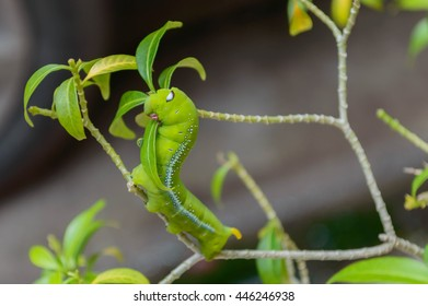 Closeup of Oleander Hawk Moth Caterpillar perched on a tree branch  To eat the leaves of Orange Jessamine trees
